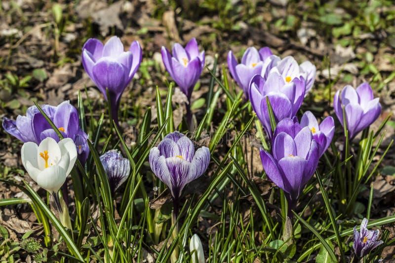 Цветки крокуса яркой весны голубые стоковая фотография rf