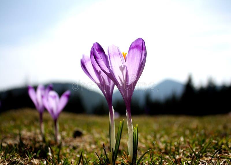 цветки крокусов пурпуровые стоковые фото