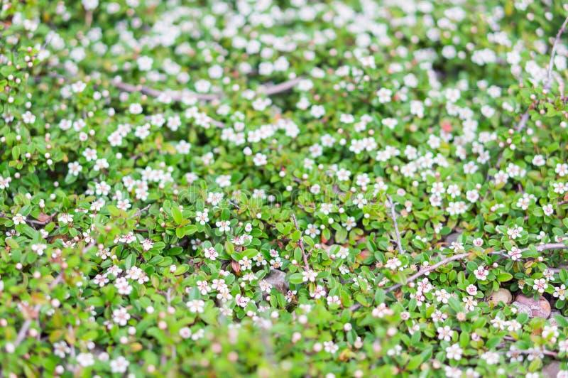 Download Цветки кустарника белые стоковое фото. изображение насчитывающей природа - 40584114