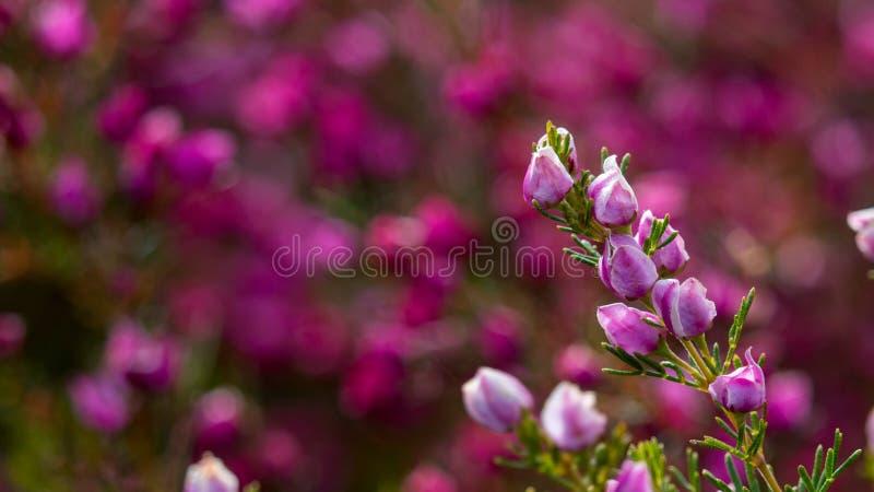 Цветки куста австралийского захолустья дикие маленькие пурпурные с запачканным изображением предпосылки широким стоковая фотография