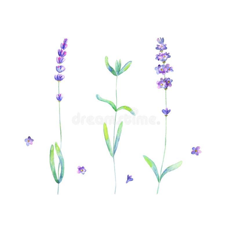 Цветки лаванды, выходят заводам пурпурный зеленый набор акварели изолированный на белую предпосылку иллюстрация штока