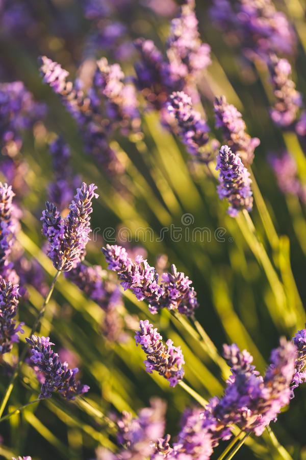 Цветки лаванды в Valensole, Провансали, Франции стоковые изображения