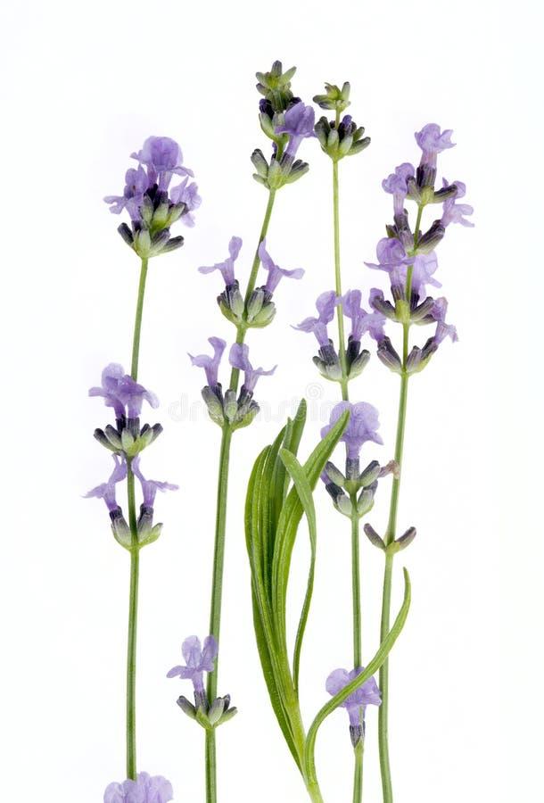 Цветки лаванды изолированные на белой предпосылке стоковая фотография