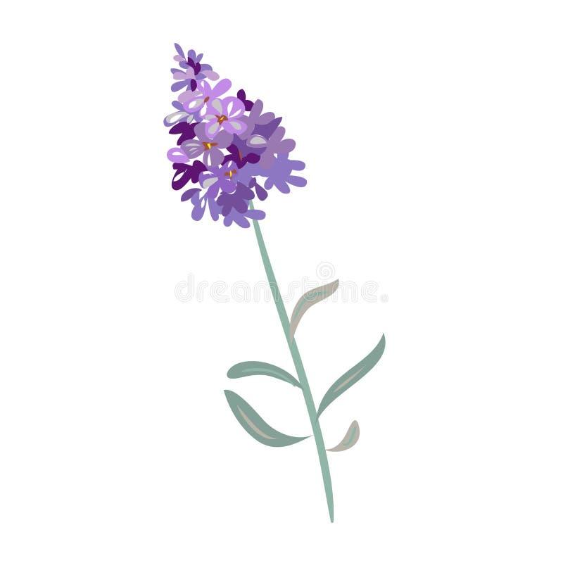Цветки лаванды на белой предпосылке иллюстрация вектора