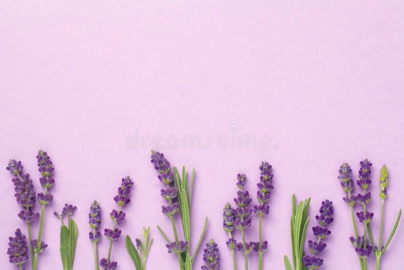 Цветки лаванды на розовой предпосылке стоковые изображения rf