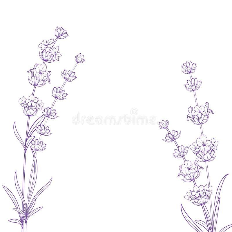 Цветки лета с травами лаванды знака каллиграфии Пук цветка лаванды изолированный над белой предпосылкой бесплатная иллюстрация