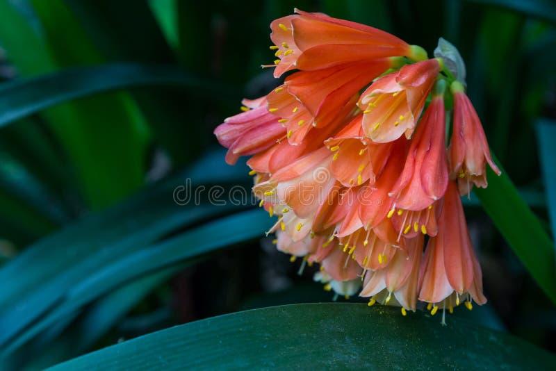 Цветки лилии Kaffir Clivia оранжевые в темном саде стоковые изображения rf