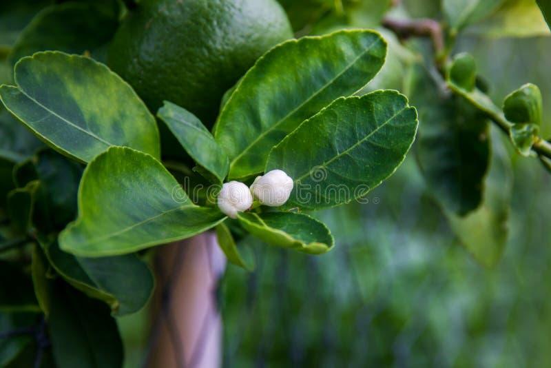 Цветки лимона на дереве стоковые изображения