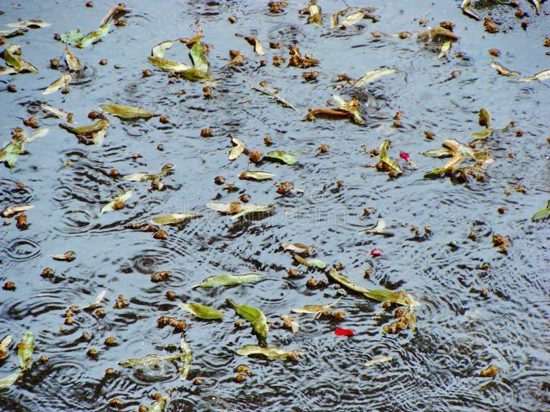 Цветки липы плавая на поток проливного дождя стоковые изображения
