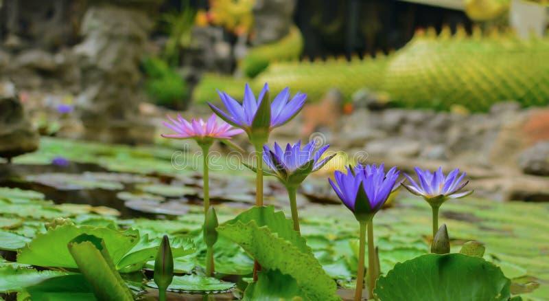 Цветки лотоса зацветают в бассейне стоковые изображения rf