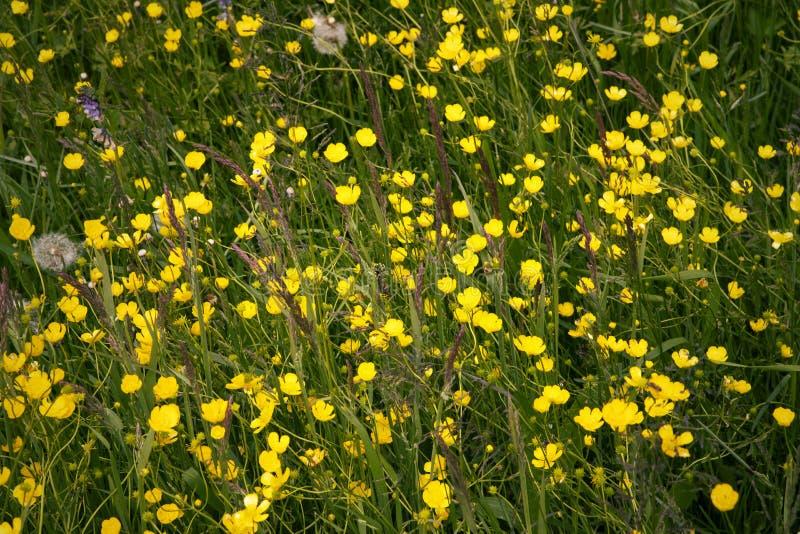 Цветки лютика в цветени на зеленом луге r Яркая желтая предпосылка цветков Общий лютик стоковая фотография