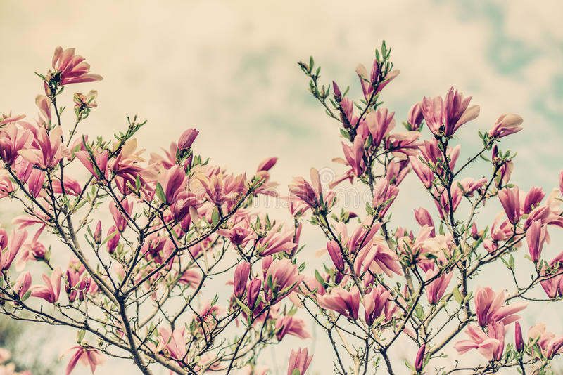 Цветки магнолии против пасмурного голубого неба - ретро стоковые изображения