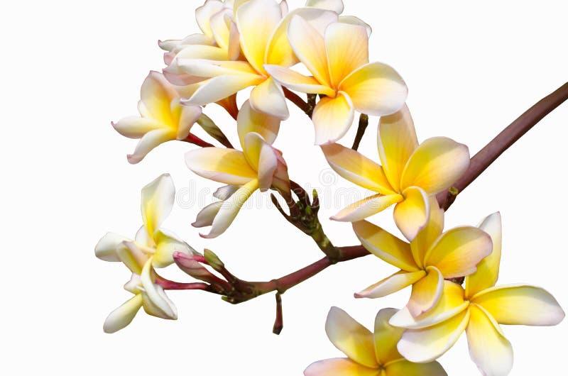 Цветки магнолий стоковое изображение