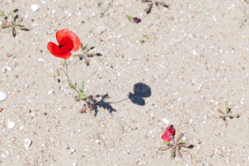 Цветки мака в пустыне стоковое изображение rf