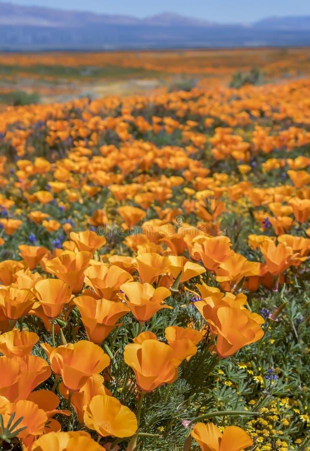 Цветки мака Калифорния вертикального изображения яркие оранжевые закрывают вверх стоковое фото