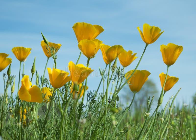 Цветки мака Калифорнии в поле стоковая фотография rf