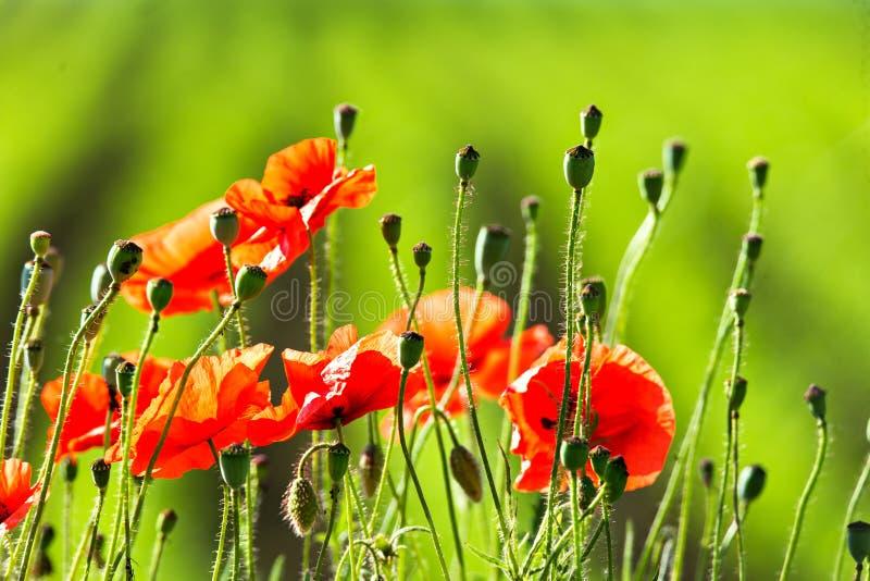 Цветки мака опиума красные, ботанический завод стоковые фотографии rf