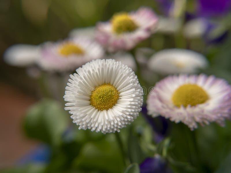 Цветки маргаритки в саде стоковое фото