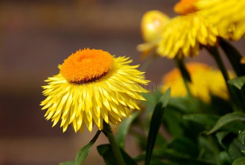 Download Цветки маргаритки желтой бумаги Стоковое Изображение - изображение насчитывающей померанцово, strawflower: 41661049