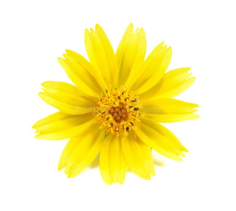 Цветки маргаритки желтые изолированные на белой предпосылке стоковые фотографии rf