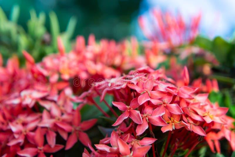 Цветки маргаритки красные малые, цветок шипа в саде природы стоковое изображение
