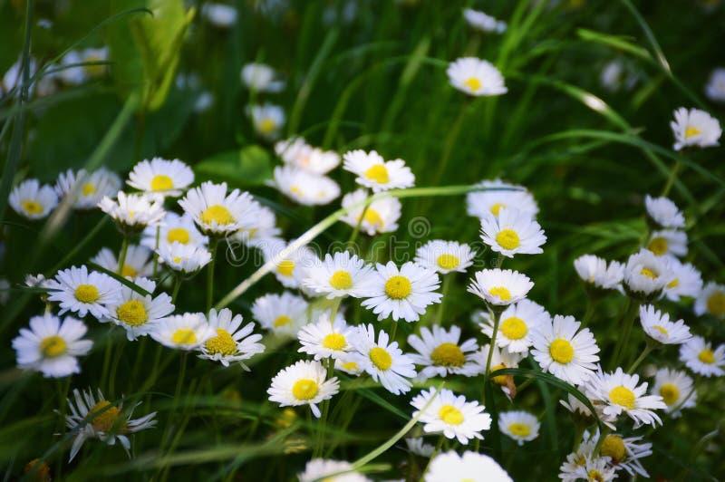 Цветки маргаритки поля стоковая фотография