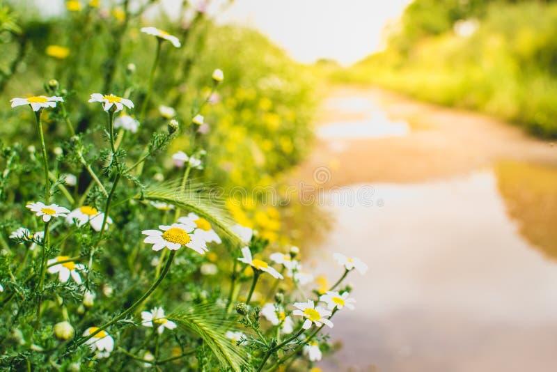 Цветки маргаритки путем на заходе солнца желтый цвет весны лужка одуванчиков предпосылки полный Ослабляя концепция пути прогулки  стоковое изображение rf