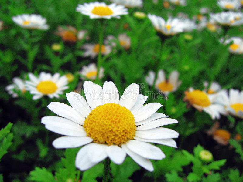 цветки маргаритки цветеня стоковые фото