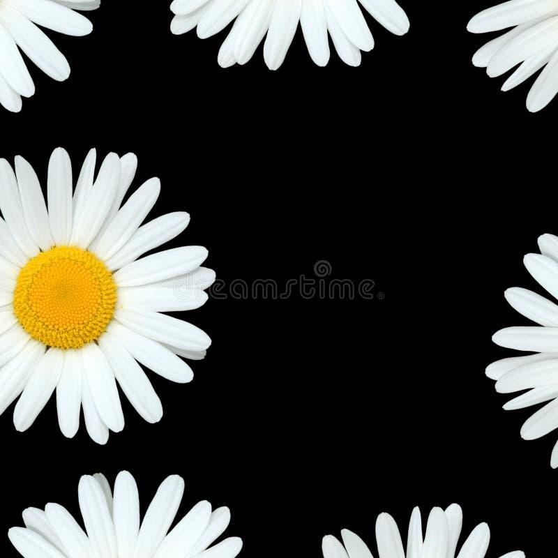 цветки маргаритки иллюстрация штока