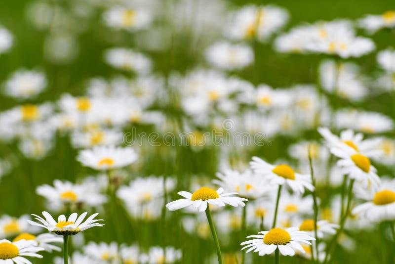Цветки маргариток в луге стоковая фотография rf