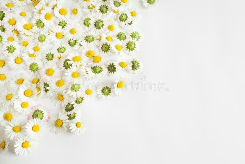 Цветки маргариток в предпосылке белой бумаги стоковые фото