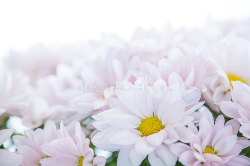 Цветки маргариток цветка белой маргаритки флористические стоковая фотография