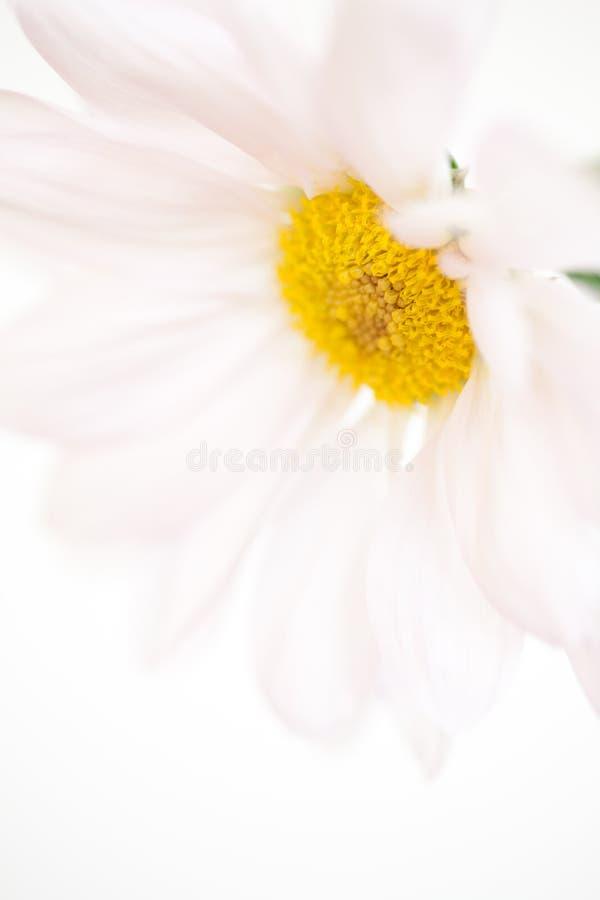 Цветки маргариток цветка белой маргаритки флористические стоковое изображение