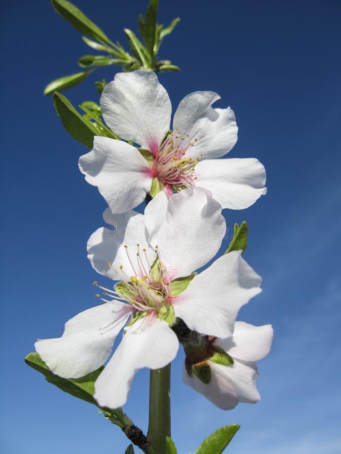 Download Цветки миндалины в цветени стоковое изображение. изображение насчитывающей природа - 41658207