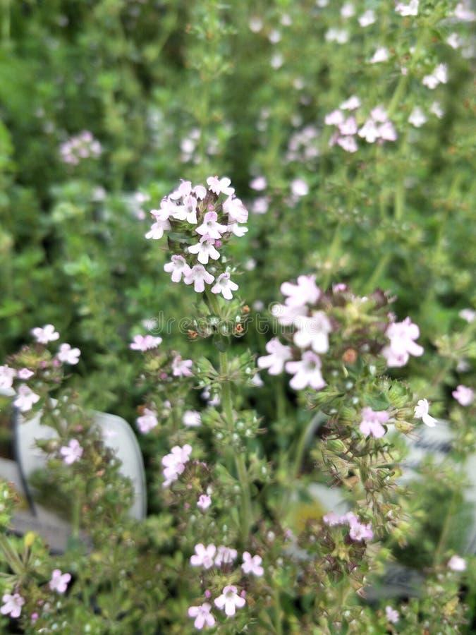 Цветки младенца стоковые фото