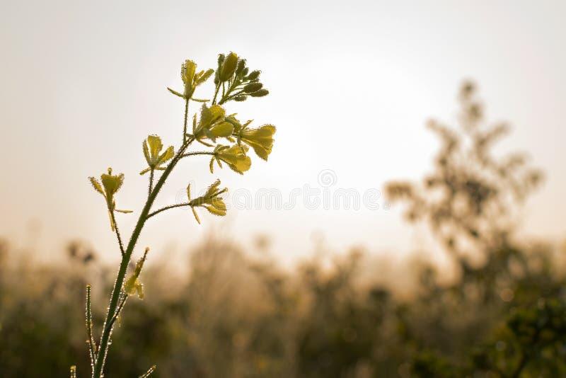 Цветки мустарда, падения росы и восход солнца стоковое изображение