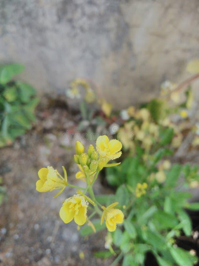 Цветки мустарда стоковая фотография rf