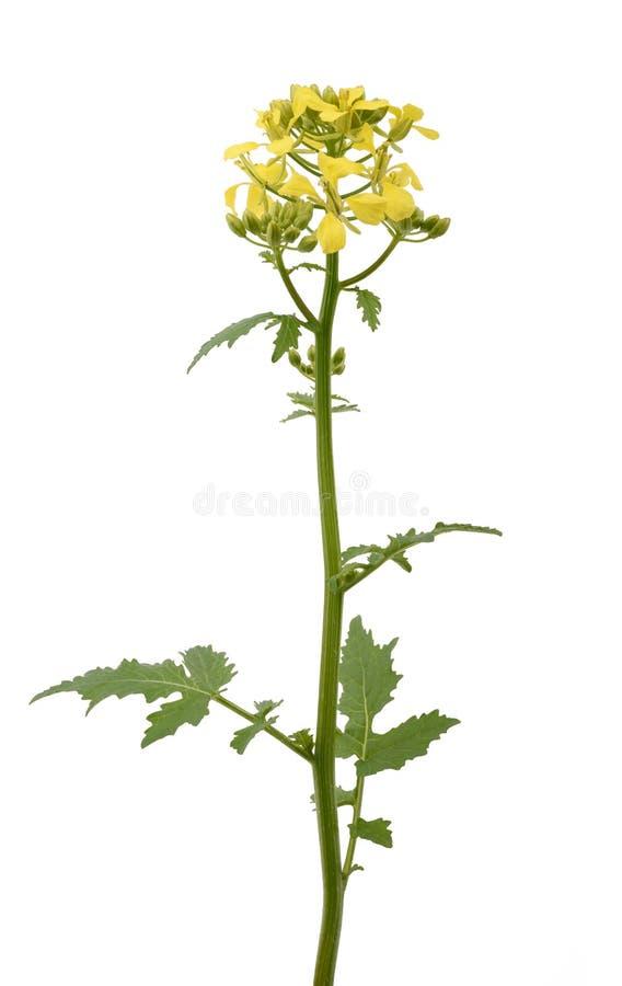 Цветки мустарда стоковая фотография