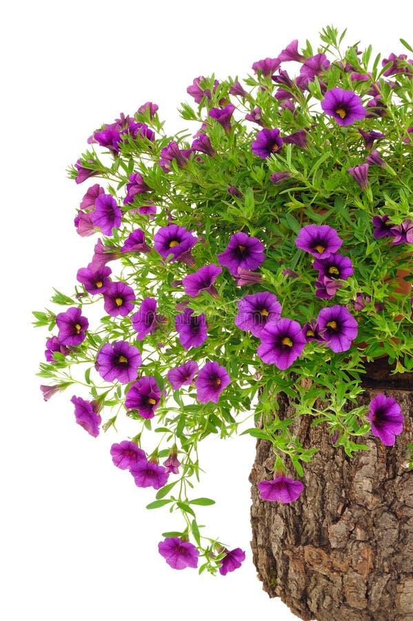 цветки над белизной ствола дерева surfinia петуньи стоковые фото