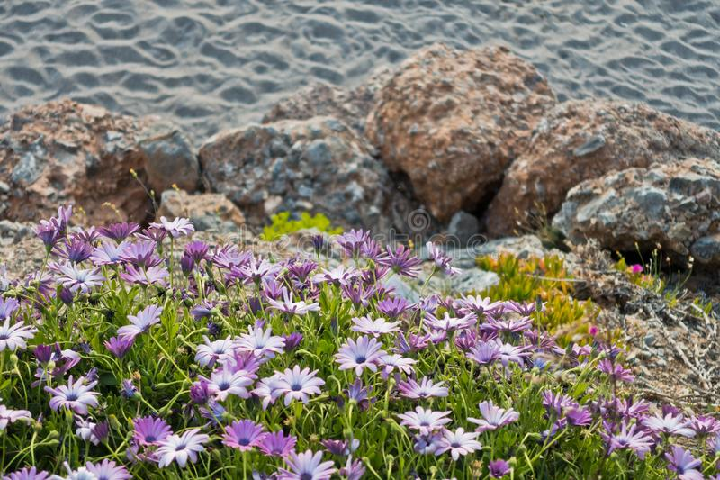 Цветки на заходе солнца, побережье весны острова Крита около Chora Sfakion стоковые изображения rf