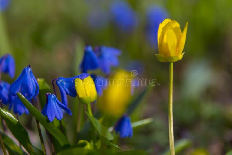 Цветки на луге весны Bifolia Scilla и palustris Caltha стоковое изображение rf