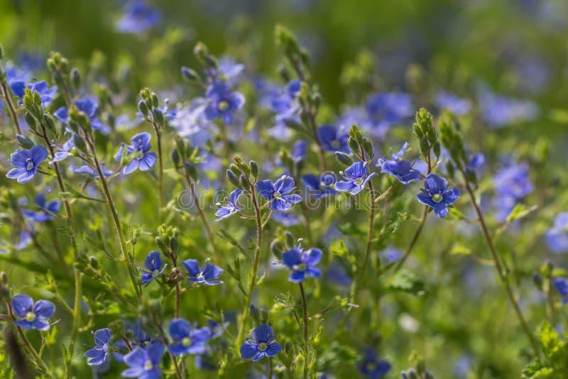 Цветки незабудок в конце вверх стоковое изображение rf