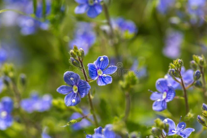 Цветки незабудок в конце вверх стоковые фото