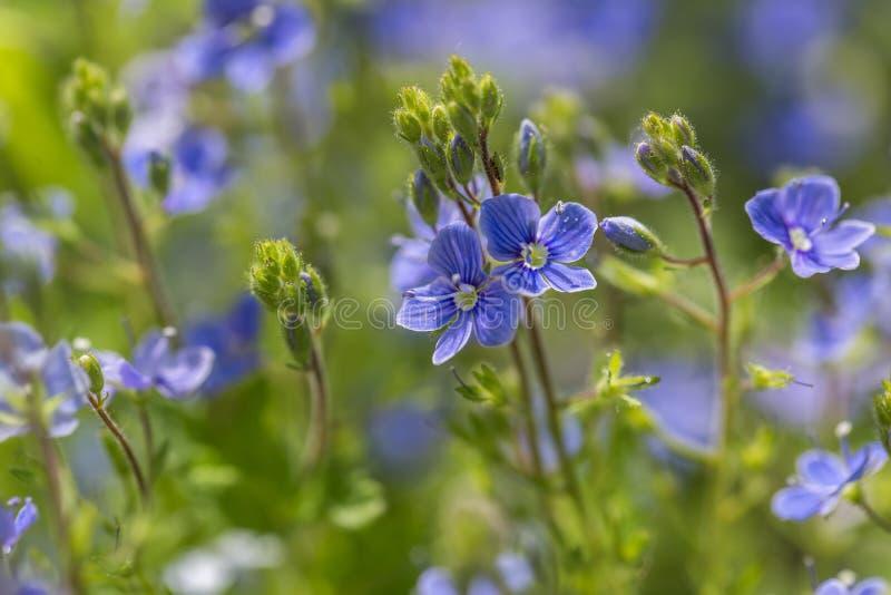 Цветки незабудок в конце вверх стоковая фотография