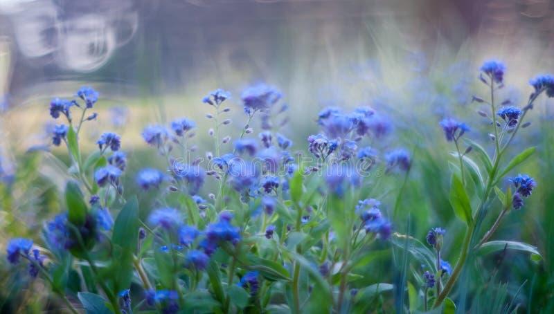Цветки незабудок стоковые фото