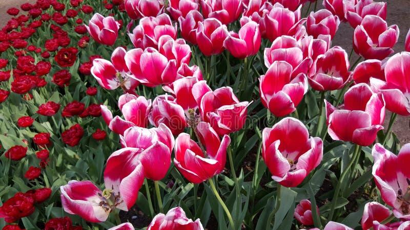 Цветки нидерландские стоковые фото