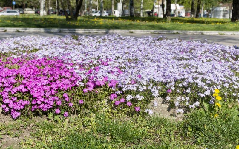 Цветки Новой Гвинеи гибридные Impatiens стоковое изображение rf