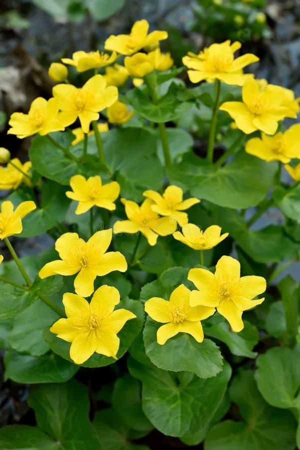 Цветки ноготк болота стоковое фото rf