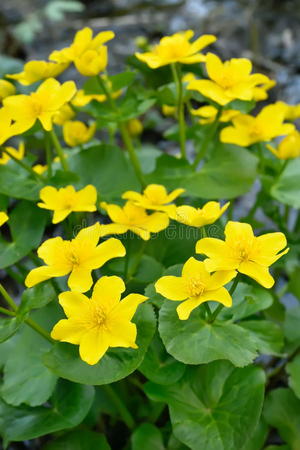 Цветки ноготк болота стоковые фото