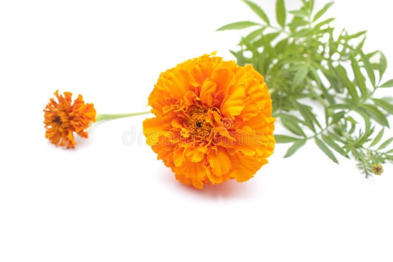 Цветки ноготк стоковые фото